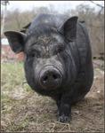 свин оригинальный